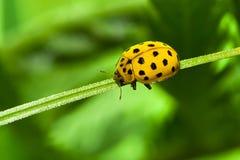 Ladybug di colore giallo Fotografie Stock