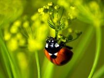 Ladybug on dill Stock Image