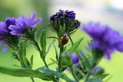 Ladybug doce Fotos de Stock