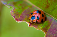 Ladybug at Doi Kiew Lom Stock Images