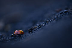Ladybug Downhill road Stock Photography