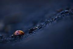 Ladybug Downhill road Stock Photography
