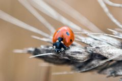 Ladybug on a Dried Wheat Royalty Free Stock Image