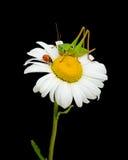 Ladybug e cavalletta alla camomilla Immagini Stock Libere da Diritti