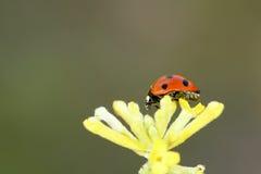 Ladybug e flor Fotos de Stock
