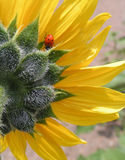 Ladybug e girasole Immagini Stock Libere da Diritti