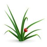 Ladybug e hierba stock de ilustración
