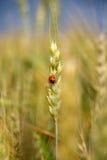 Ladybug on the ear Stock Photography