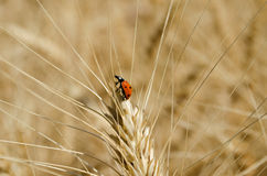Ladybug on ear of wheat in the field close-up photo Stock Photo