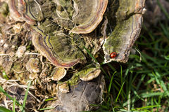 Ladybug early in the spring is heated in the sun Royalty Free Stock Photography