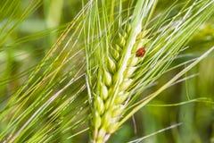 Ladybug on the ears. Stock Photos