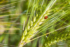 Ladybug on the ears. Royalty Free Stock Images