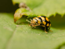 Ladybug Eating Royalty Free Stock Images
