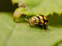 Ladybug Eating Royalty Free Stock Images