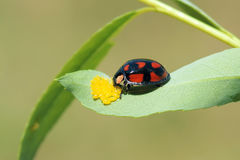 Ladybug. A ladybug is eating yellow insect eggs Stock Photography