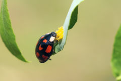 Ladybug. A ladybug is eating yellow insect eggs Royalty Free Stock Photo