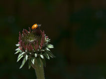Ladybug on Echinacea Stock Photo