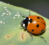 Ladybug ed afidi Fotografia Stock Libera da Diritti