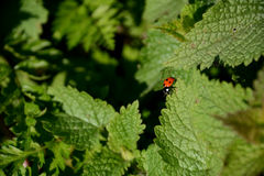 Ladybug on the edge of a nettle leaf Royalty Free Stock Photography