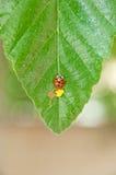 Ladybug and eggs Stock Photos