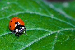 Ladybug em uma folha Imagem de Stock