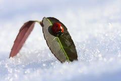 Ladybug em uma folha em um dia ensolarado do inverno Imagem de Stock Royalty Free