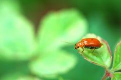 Ladybug em uma folha verde Fotos de Stock Royalty Free
