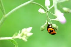 Ladybug em uma folha verde Fotografia de Stock