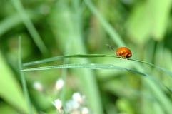 Ladybug em uma folha verde Fotos de Stock