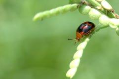 Ladybug em uma folha verde Foto de Stock Royalty Free