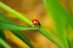 Ladybug em uma grama verde imagem de stock
