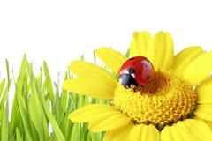 Ladybug em uma margarida com grama como o fundo Fotos de Stock
