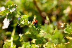 Ladybug em uma planta Imagem de Stock Royalty Free
