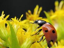 Ladybug en amarillo Imagen de archivo libre de regalías