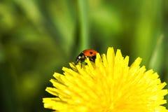 Ladybug en el diente de león Fotos de archivo libres de regalías