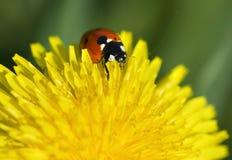 Ladybug en el diente de león amarillo Imágenes de archivo libres de regalías