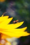 Ladybug en el girasol Fotos de archivo