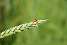 Ladybug en el oído Imagen de archivo