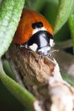 Ladybug en el romero fotografía de archivo
