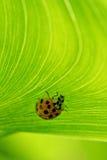 Ladybug en follaje alineado Fotos de archivo