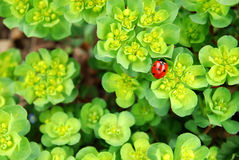 Ladybug en follaje fresco foto de archivo
