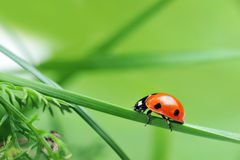 Ladybug en hierba imagen de archivo