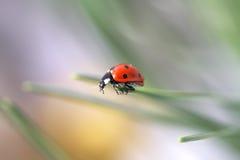 Ladybug en hierba Imagenes de archivo