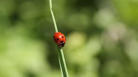 Ladybug en hierba E Foto macra de la mariquita en la hierba verde r metrajes