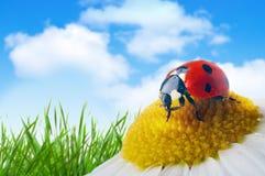 Ladybug en la flor Foto de archivo libre de regalías