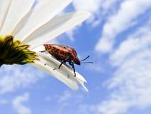 Ladybug en la flor bajo el cielo azul Imagenes de archivo