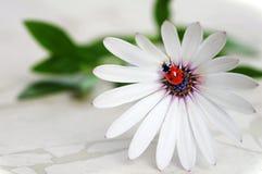 Ladybug en la flor de la margarita Fotografía de archivo