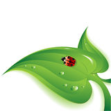 Ladybug en la hoja Fotos de archivo libres de regalías