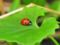 Ladybug en la hoja verde Foto de archivo libre de regalías