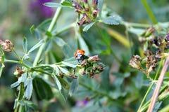 Ladybug en la planta Imagen de archivo